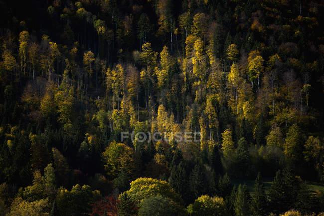 Alemanha, Baviera, Larício e macieiras nos Alpes — Fotografia de Stock