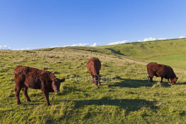 England, Kühe auf der Weide in West Lulworth — Stockfoto