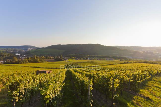 Вид на виноградники на восходе солнца, Остланд, Германия — стоковое фото