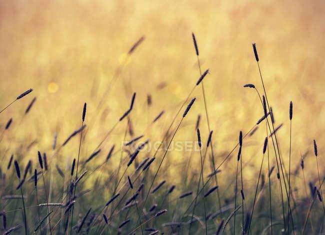 Крупный план летней травы на желтом фоне в Австрии — стоковое фото