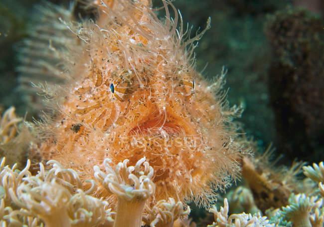 Крупным планом волосатые Frogfish плавающие под водой — стоковое фото