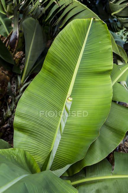 Листя банана заводу на відкритому повітрі — стокове фото