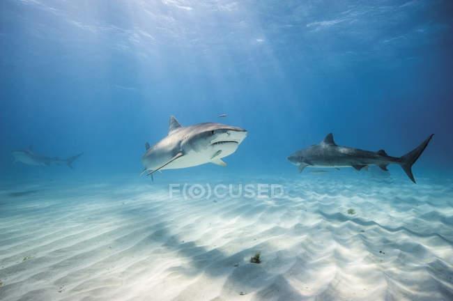 Четыре акул тигра на берегу Багама — стоковое фото