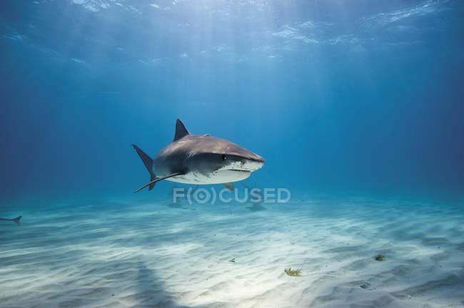 Тигровая акула на берегу Багама — стоковое фото