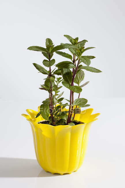Potted plant of Japanese Mint — Stock Photo