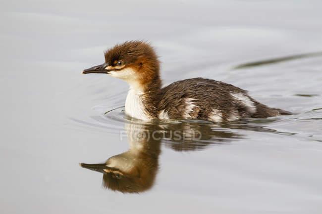 Goosander pulcino nuotare nello stagno — Foto stock