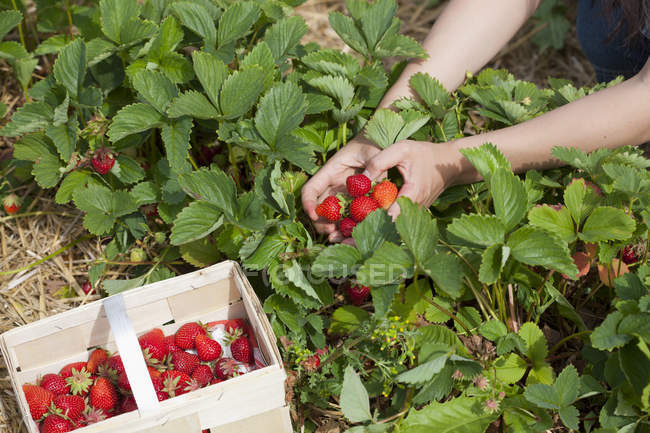 Hands picking strawberries in field — Stock Photo