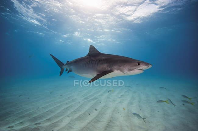 Тигровая акула в банке Багама — стоковое фото