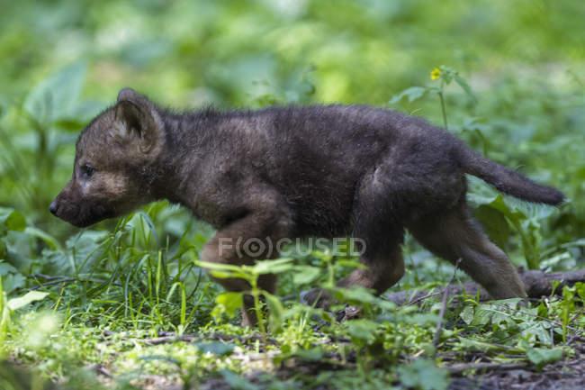 Сірий вовк pup прогулянки у лісі — стокове фото