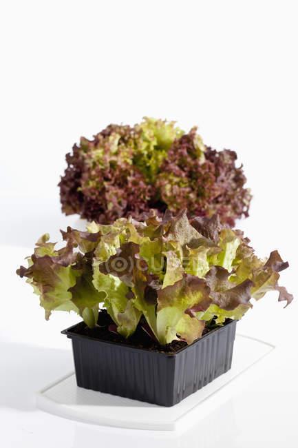 In vaso di rosso di lollo — Foto stock