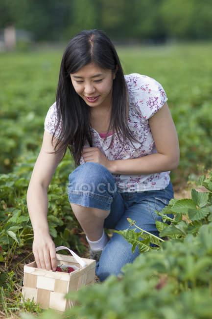 Женщина собирает клубнику в поле — стоковое фото