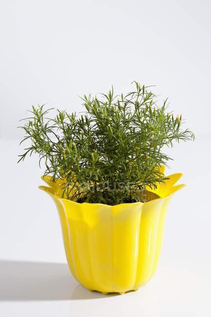 Pianta in vaso di erba di liquirizia — Foto stock