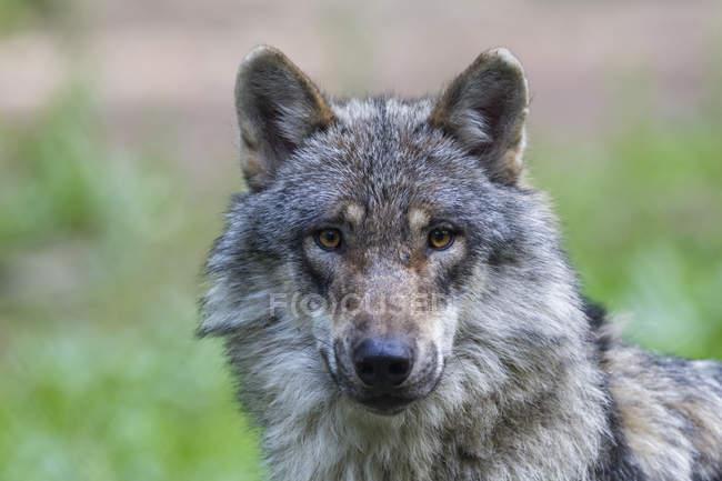 Серый волк, глядя на камеру крупным планом — стоковое фото