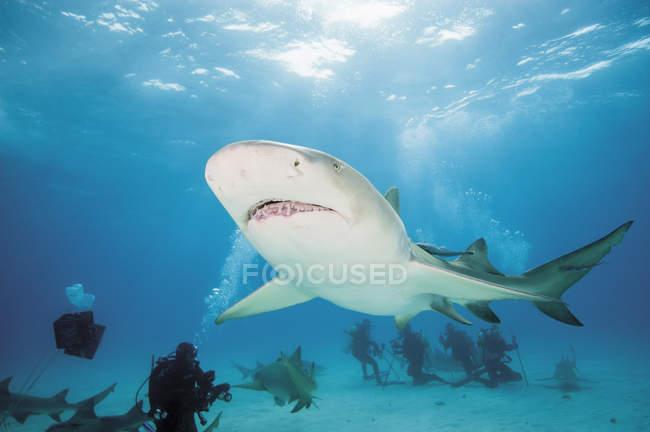 Багамские острова, водолазов, знакомства с Атлантики лимона акулы — стоковое фото