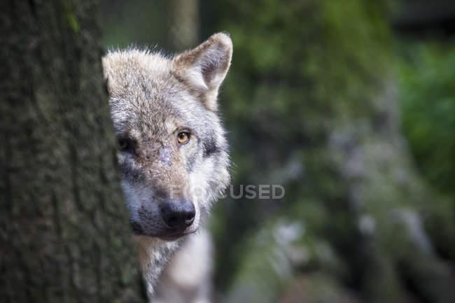 Серый волк морда, ствол дерева — стоковое фото
