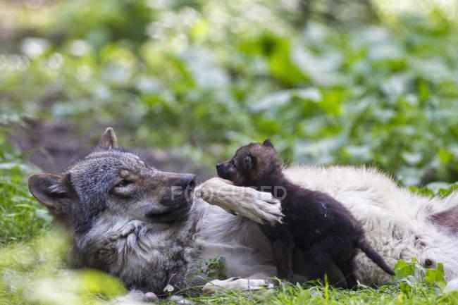 Серый волк играет с щенком в лесу — стоковое фото