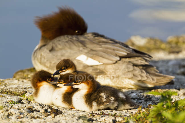 Goosander with chicks at lakeside — Stock Photo