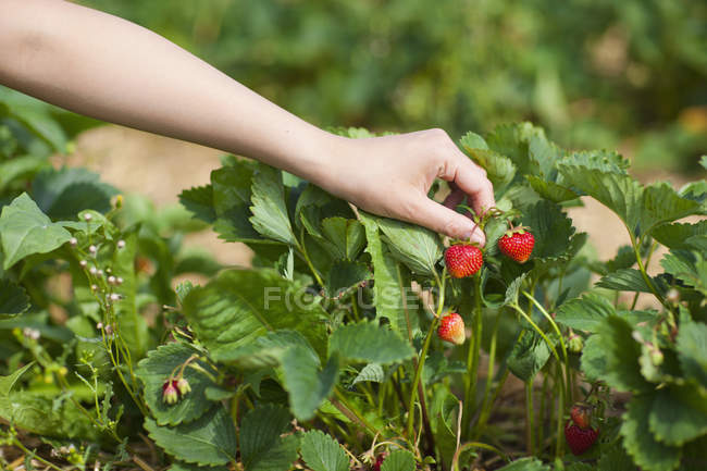 Woman picking fresh strawberries — Stock Photo