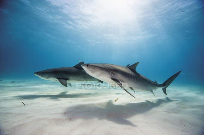 Тигровые акулы в банке Багама — стоковое фото
