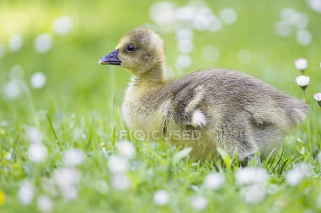 Canada Goose poussin sur prairie fleurie — Photo de stock
