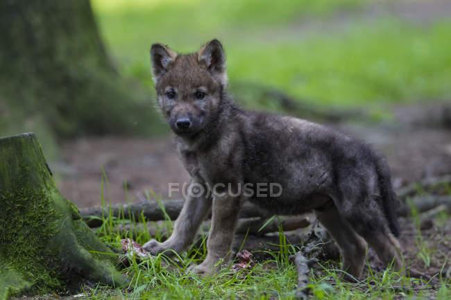Сірий вовк цуценя в лісі — стокове фото