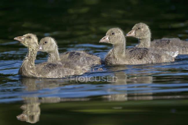 Oie cendrée avec poussins flottant dans l'eau — Photo de stock