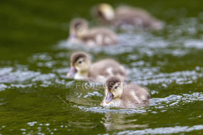 Poussins de Pochard huppé flottant dans l'eau — Photo de stock