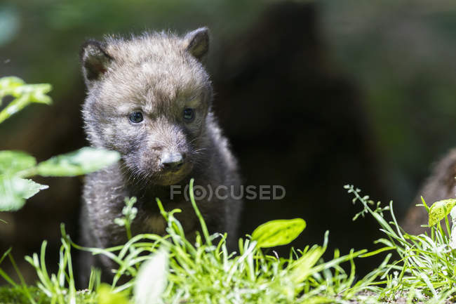 Gray wolf pup standing on grass — Stock Photo
