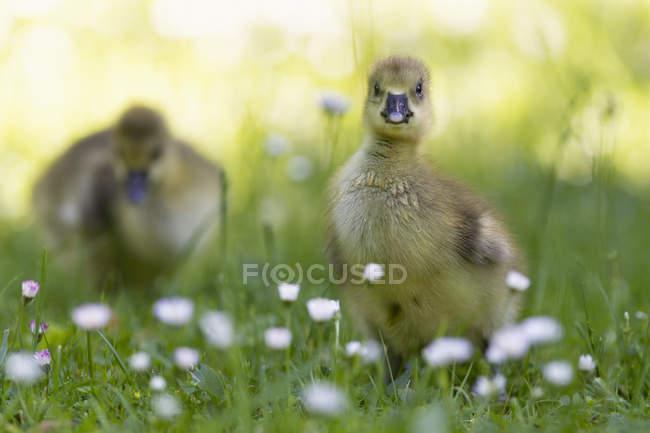Polluelos de ganso de Canadá - foto de stock