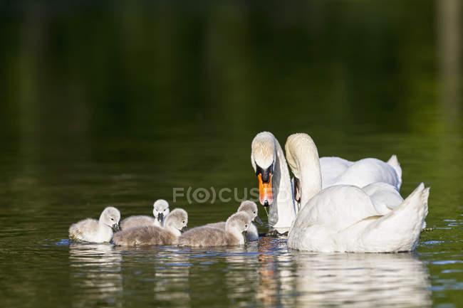 Primer plano de cisnes flotando con los pollitos en el agua - foto de stock