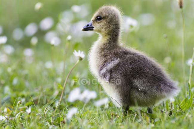 Barnacle goose pintinho na florescência Prado — Fotografia de Stock