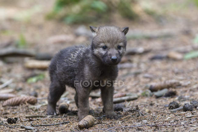 Gray wolf pup standing in forest — Stock Photo