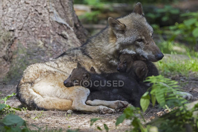 Gray wolf with pups lying near tree trunk — Stock Photo