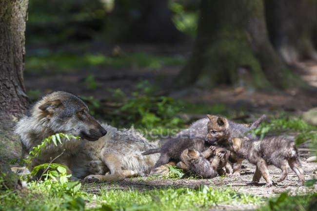 Сірий вовк з її щенки — стокове фото