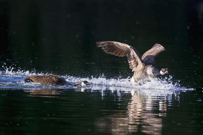 Canada les oies se baignant dans l'eau — Photo de stock