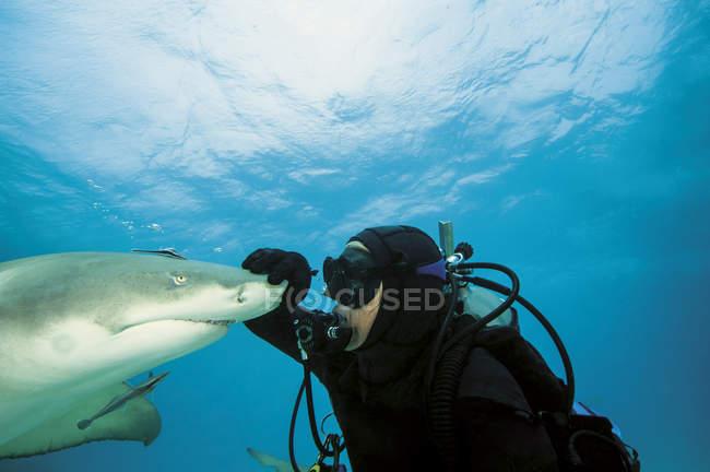 Багамские острова, дайвер, играя с Атлантики лимона акулы — стоковое фото