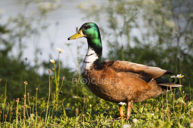 Gros plan de canard sauvage, marcher sur l'herbe — Photo de stock