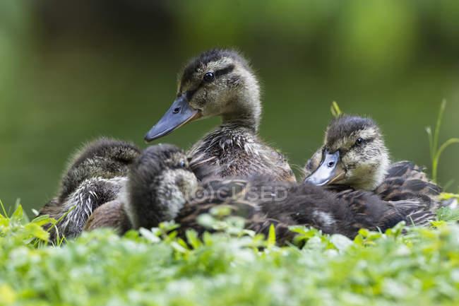 Canetons assis dans l'herbe verte — Photo de stock