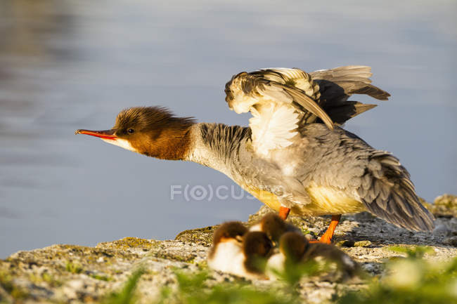 Close-up of Goosander standin en roca con los pollitos - foto de stock