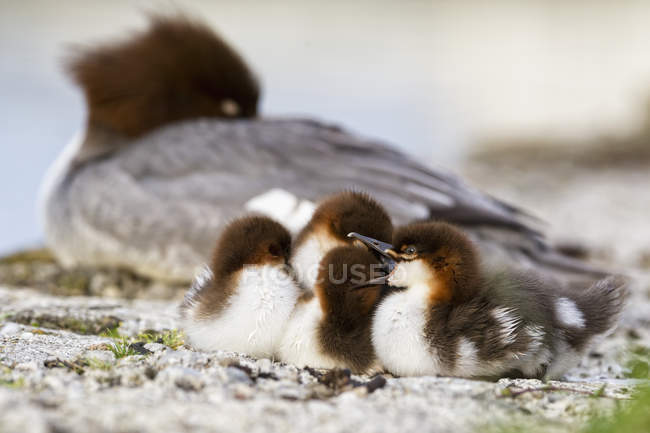 Close-up of Goosander con los pollitos en la naturaleza - foto de stock