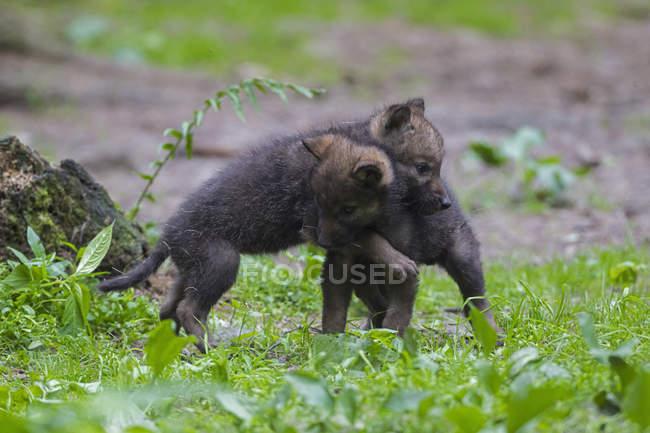 Cuccioli di lupo grigio che giocano sull'erba — Foto stock