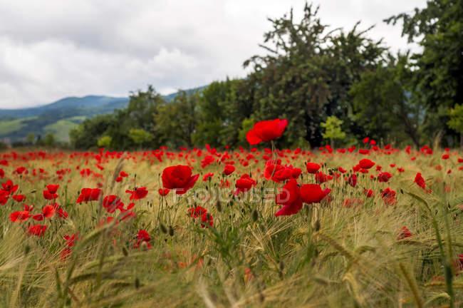 França, flores frescas de papoula em campo durante o dia — Fotografia de Stock