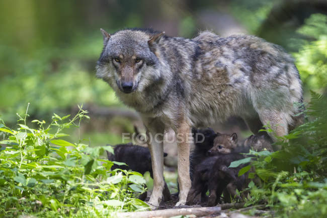 Gray wolf with pups — Stock Photo