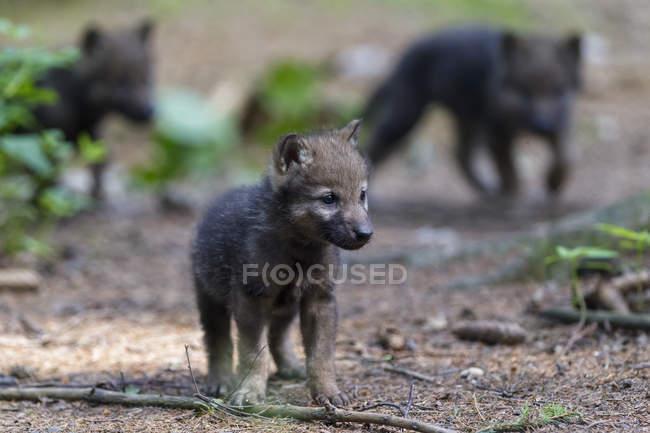 Вовк цуценят в лісі — стокове фото