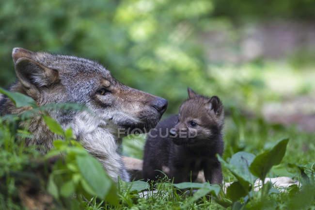 Lupo grigio con il suo cucciolo — Foto stock