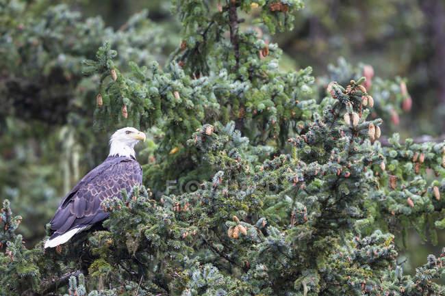 США, Аляска, белоголовый орлан усаживаться на дерево — стоковое фото