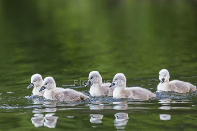 Poussins de cygne flottant dans l'eau — Photo de stock