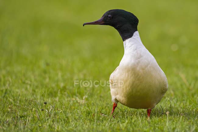 Canard marchant sur l'herbe verte — Photo de stock