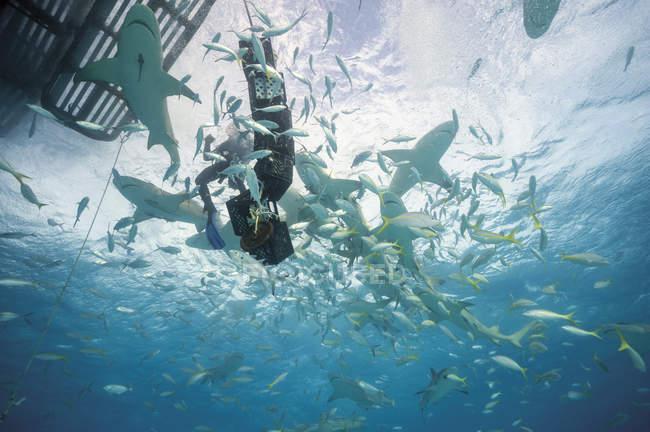 Багамские острова, дайвер между лимона акулы в Bahana банке — стоковое фото