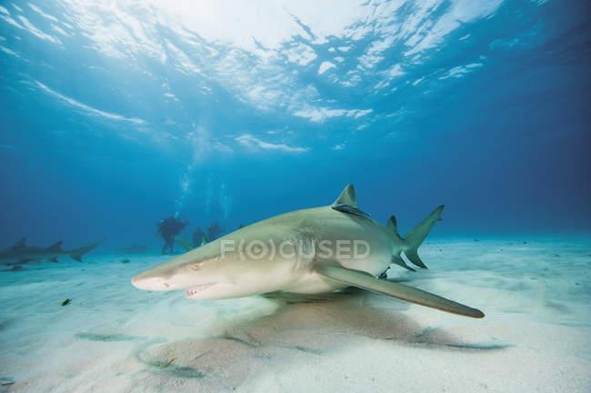 Багамские острова, лимонная акула в Атлантическом океане — стоковое фото